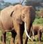 大象群寻找隐藏的动物